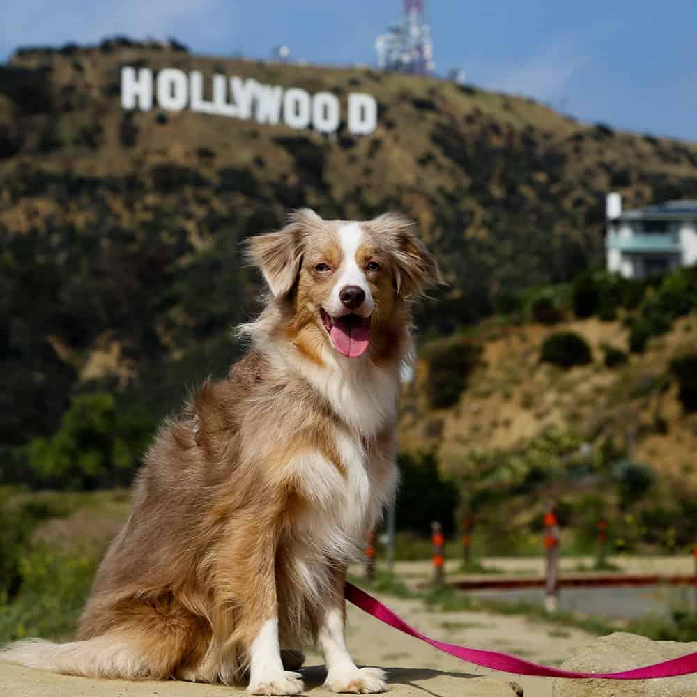 Dog walking Hollywood California LA