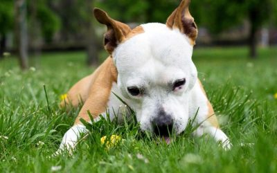 Why Do Dogs Eat Grass_